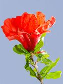 picture of ovary  - Bright red pomegranate flowers ovary and petals against clear blue sky - JPG