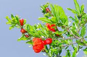 Branches Of Spring Blossoming Pomegranate Sunlit Red Flowers