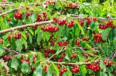 Natural Organic Cherry Berry Bunches