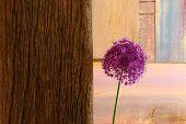 Allium Ornamental Onion Violet Showy Flower Head Driftwood