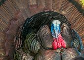 Wild Turkey Closeup