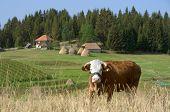 cow in Kamena Gora Highland, Serbia