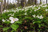 Trillium Bed - Horizontal Wide