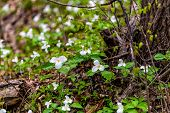 stock photo of trillium  - A small grouping of white trilliums blooming at the base of a tree - JPG