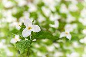 White Trillium Among Many - Shallow