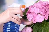 Process of caring for  hydrangea flower on light background