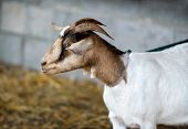 foto of billy goat  - A close up side view of a goat on a leash - JPG