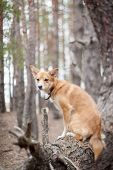 Dog On A Tree. Pine Forest.