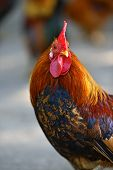 stock photo of fighting-rooster  - Beautiful decorative rooster on the farm in the spring - JPG