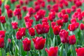 Bright Flowering Colorful Flowers Tulips In Garden