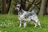 foto of spotted dog  - Cute blue belton English Setter dog is standing in a beautiful spring flowering meadow before a groves background - JPG