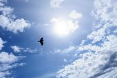 Lonely raven or crow in the blue sky as symbol of freedom
