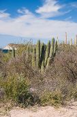 image of gulf mexico  - Organpipe cactus on coast of Gulf of California Sonora Mexico - JPG