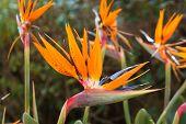 Bird Of Paradise Blooms