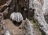 foto of badger  - Young American badger cub - JPG