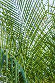 Arecaceae Or Palmae,arecaceae (palmae)