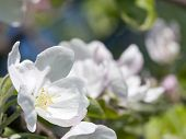 White flowers in an apple tree.