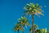 stock photo of tarifa  - Palm trees over blue cloudless sky in Tarifa Spain - JPG