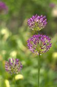 Purple Allium Trio