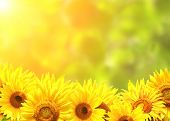 image of sunflower  - Bright yellow sunflowers and sun - JPG