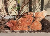 Chicken Lying Of Soil Bucket With Relaxing Time