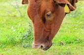 stock photo of zebu  - brown zebu grazing fresh grass on green meadow - JPG