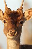 Portrait Of Young Deer Buck