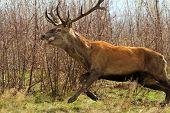 Red Deer Jumping