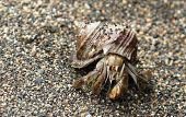 foto of hermit  - A hermit crab in its shell - JPG