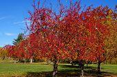 Scarlet Trees - Autumn