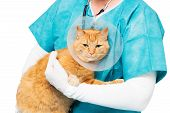 image of neck brace  - red tiger cat at the veterinary with a neck brace - JPG