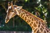 Closeup of giraffe profile head and long neck