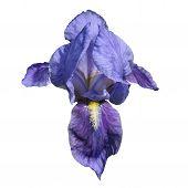 Flor de Iris azul