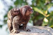 The Common Marmoset (callithrix Jacchus) White-eared Female Monkey With Baby