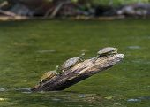 Three Turtles Sunning On A Log