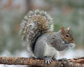 Gray Squirrel on a Branch
