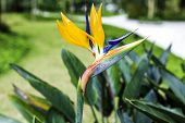 Bird of Paradise Flowers , Strelitzia
