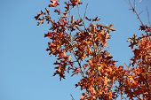 Red Oak Tree Leaves with Acorn in Fall against blue sky