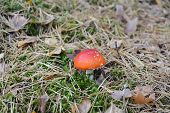 Red amanita in forest