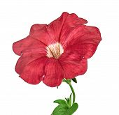 Red Petunia Isolated On White