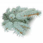 Blue Spruce Branches.
