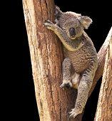Cute Koala isolated on black background