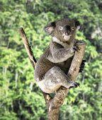 Cute Koala on the forest, Australia