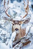 stock photo of mule  - Arizona Mule Deer in Winter. Northern Arizona Kaibab National Forest Grand Canyon Area. United States.