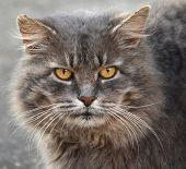 image of portrait british shorthair cat  - Close up portrait of a grey cat - JPG
