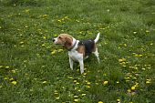 image of foxhound  - watchful american foxhound dog in a grass field - JPG