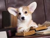 picture of corgi  - Corgi reading a book