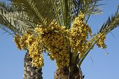 clusters of dates on a palm