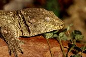 pic of tokay gecko  - fantastic close - JPG