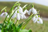 picture of fragile  - Gentle and fragile first springtime tender flowers white blooming snowdrops on Alps sunlight meadow. Stock photo with shallow depth of field.